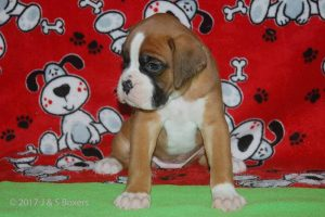July-boxer-puppies04