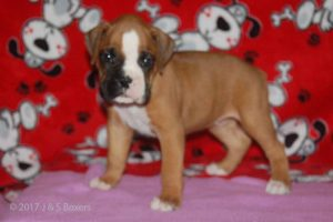 July-boxer-puppies05