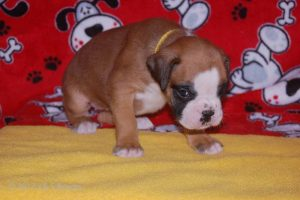 July-boxer-puppies07