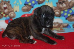 July-boxer-puppies09
