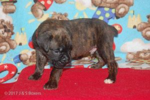 July-boxer-puppies10