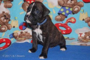 July-boxer-puppies11