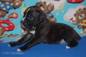 July-boxer-puppies12