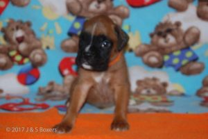 July-boxer-puppies14