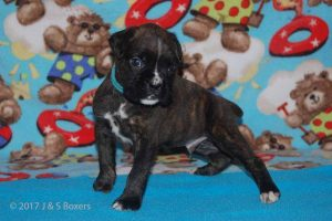 July-boxer-puppies15