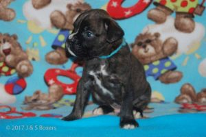 July-boxer-puppies16