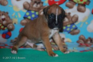 July-boxer-puppies17