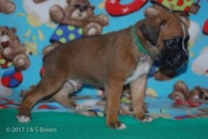 July-boxer-puppies18