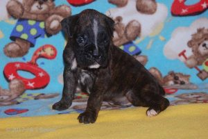 July-boxer-puppies19