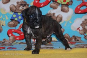 July-boxer-puppies20