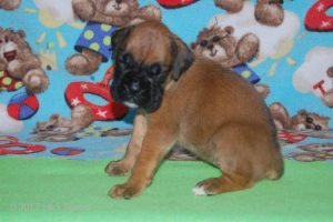 July-boxer-puppies21