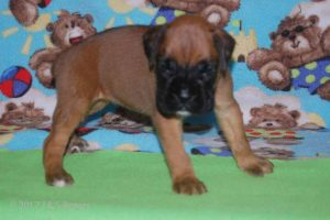July-boxer-puppies22
