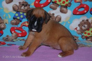 July-boxer-puppies23