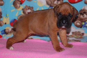 July-boxer-puppies26