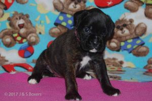 July-boxer-puppies27