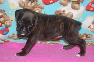 July-boxer-puppies28
