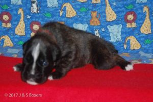 July-boxer-puppies29