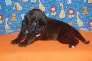 July-boxer-puppies31