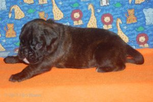 July-boxer-puppies32