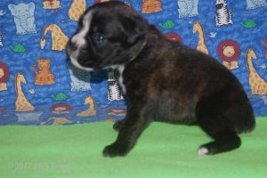 July-boxer-puppies33