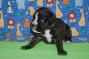 July-boxer-puppies34