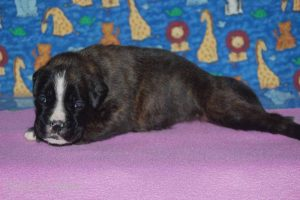 July-boxer-puppies35
