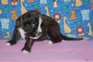 July-boxer-puppies36