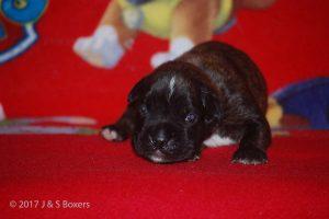 boxer-puppy11