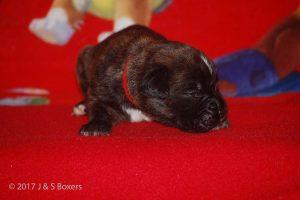 boxer-puppy12