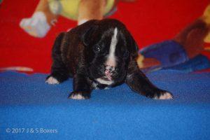 boxer-puppy14