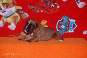 boxer-puppy15