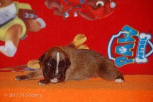 boxer-puppy16