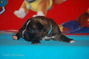 boxer-puppy17