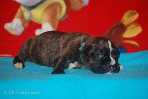 boxer-puppy18