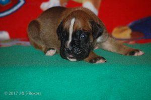 boxer-puppy19