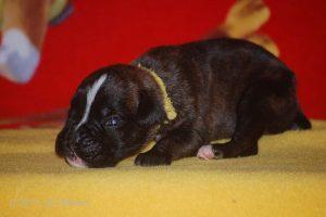 boxer-puppy21