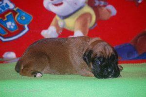 boxer-puppy23