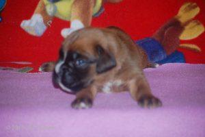 boxer-puppy25