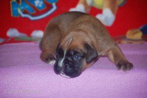 boxer-puppy26