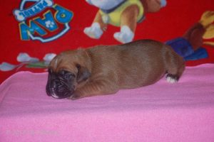 boxer-puppy28