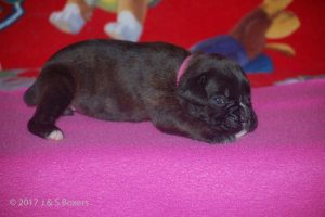 boxer-puppy29