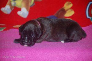 boxer-puppy30