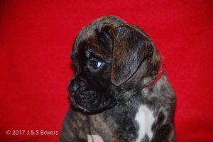 euro boxer puppy11