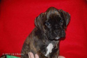 euro boxer puppy12
