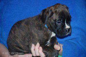 euro boxer puppy13