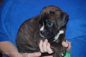 euro boxer puppy14