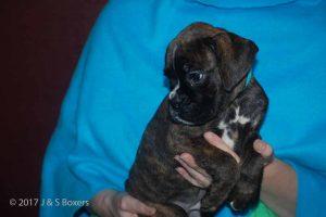 euro boxer puppy17