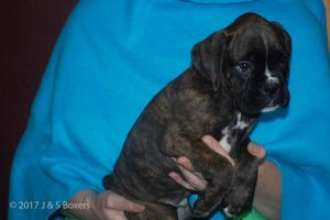 euro boxer puppy18