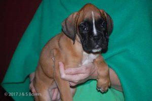 euro boxer puppy20
