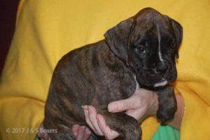 euro boxer puppy21